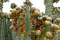 Detail Euphorbia virosa.JPG