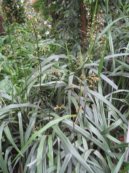 File:Dianella tasmanica (Habitus).jpg - Wikimedia Commons