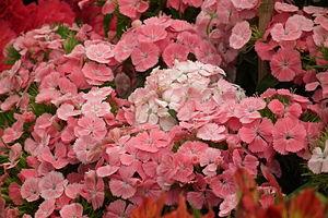 Dianthus barbatus aka Sweet william from Lalba...