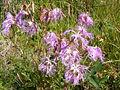 Dianthus superbus DSCF4657.JPG