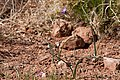 Dichelostemma capitatum - Flickr - aspidoscelis (3).jpg