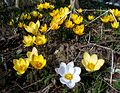 Different kinds of Crocus.JPG