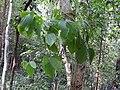 Dioscorea hirsuta-2-kallar-meenmudii-kerala-India.jpg