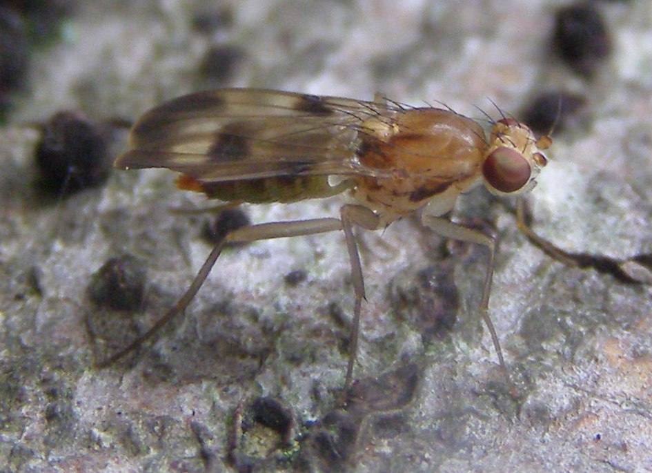 Diptera-Clusiidae-Paraclusia-tigrina-20110910a