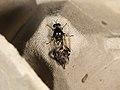 Diptera sp. (37107801853).jpg