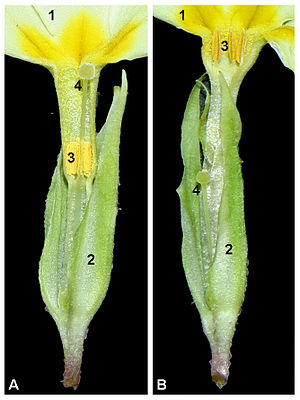Heterostyly - Dissection of pin (A) and thrum (B) flowers of Primula vulgaris
