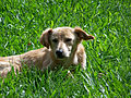 Dog - Labrador.jpg