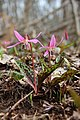Dogtooth violet - Erythronium dens-canis - panoramio (3).jpg