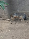Dolichotis patagonum in San Diego Zoo 01.jpg