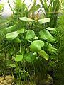 Dollarweed Hydrocotyle umbellata.jpg
