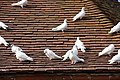 Doves on dovecot roof, Felbrigg Hall - geograph.org.uk - 1500797.jpg
