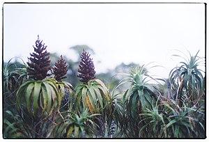 Dracophyllum - Mountain neinei, Dracophyllum traversii