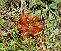 Drosera capillaris. Sundew (34631975265).jpg