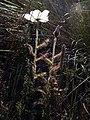 Drosera cistiflora Hangklip 06.jpg