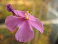 Drosera menziesiiFlora3.jpg