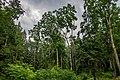 Dubrava Ščomyslickaja natural monument (Belarus) p19.jpg