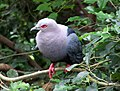 Ducula pinon (Pinon Imperial-pigeon)8.jpg