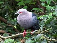 Ducula pinon (Pinon Imperial-pigeon)8