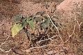 Dunst Fish River Canyon Oct 2002 slide042 - karger Boden.jpg