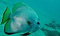 Dusky Batfish (Platax pinnatus) (8509972413).jpg