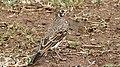 Dusky Lark (Pinarocorys nigricans) (6029254985).jpg