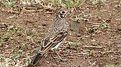 Dusky Lark (Pinarocorys nigricans) (6029254985)