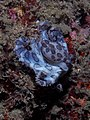 Dying Blue-ringed octopus (Hapalochlaena sp.) (14409820434).jpg