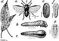 EB1911 - Hymenoptera Fig. 6.—Pear Saw-fly (Eriocampoides limacina).jpg