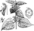 EB1911 - Labiatae - Fig. 1.—Flowering Shoot of Dead-nettle (Lamium album).jpg