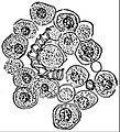 EB1911 Mycetozoa - Trichia varia - sporangium (2).jpg