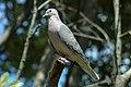 Eared Dove 2015-06-02 (20) (40308704851).jpg