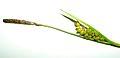 Early Fen Sedge, Crawe's Sedge (Carex crawei) at Morton Arboretum in Rare ^ Endangered Plants - Flickr - Jay Sturner (1).jpg