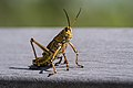 Eastern Lubber Grasshopper in Everglades National Park.jpg