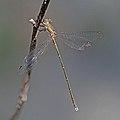 Eastern willow spreadwing (Chalcolestes parvidens) male.jpg