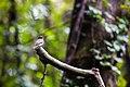 Eastern wood-pewee (37060401136).jpg