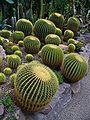 Echinocactus grusonii 001.JPG
