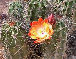 Echinocereus triglochidiatus arizonicus flower.jpg