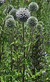 Echinops sphaerocephalus RF.jpg