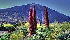 Echium Wildpretii at The Teide.jpg