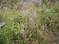 Echium plantagineum (Barlovento) 01.jpg