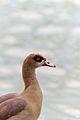 Egyptian goose, Palmengarten, Frankfurt am Main.jpg