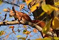 Eichhörnchen im Herbst 2014.JPG