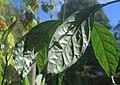 Elaeagnus latifolia leaves III, by Omar Hoftun.jpg