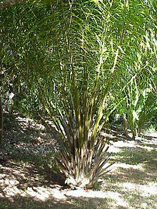 African Oil Palm (Elaeis guineensis)
