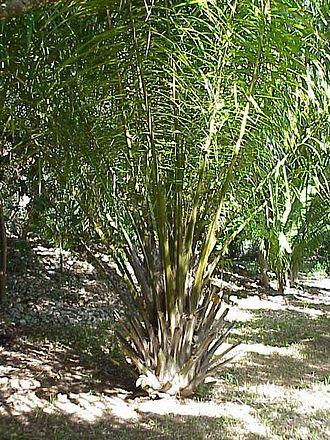 Elaeis - African Oil Palm (Elaeis guineensis)