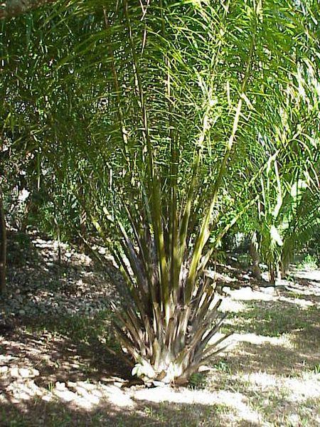 Elaeis (kelapa sawit)