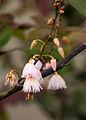 Elaeocarpus reticulatus flowers 1.jpg
