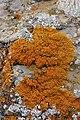 Elegant Sunburst Lichen - Rusavskia elegans (30365685788).jpg