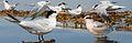 Elegant Tern From The Crossley ID Guide Eastern Birds.jpg