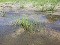 Eleocharis mamillata subsp. mamillata sl41.jpg